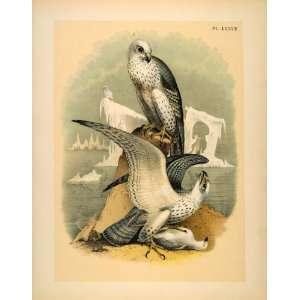 1881 Chromolithograph Bird Gyrfalcon Jer Iceland Falcon