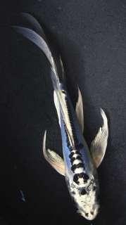 DOITSU BLUE MATSUBA Butterfly Fin Live Koi fish pond garden NDK