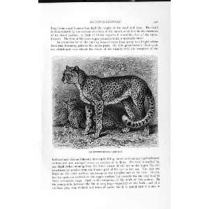 NATURAL HISTORY 1893 94 HUNTING LEOPARD WILD ANIMAL
