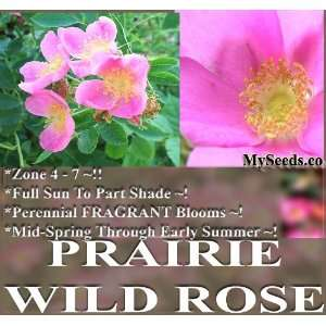 10 Prairie Wild Rose Seeds FRAGRANT WILDFLOWER SEEDS