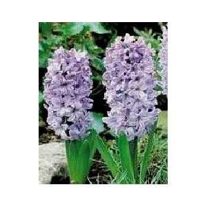 Hyacinth Delft Blue 16 17 cm. 50 pack: Patio, Lawn & Garden