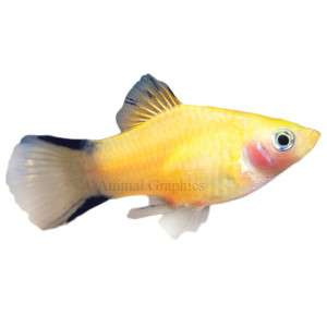 Gold Twin barred Platy   Tropical   Fish   PetSmart